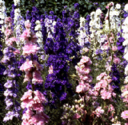 Larkspur Giant Hyacinth Flowered mix - Appx 500 seeds